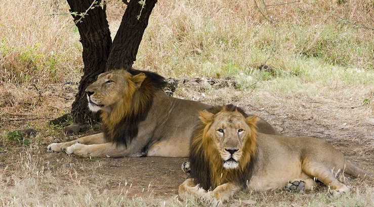 gir national park and sanctuary Gir forest national park – only home of asiatic lions posted on march 10, 2011 by admin gir forest national park and wildlife sanctuary (also known as sasan gir) is a forest and wildlife sanctuary in gujarat, india.